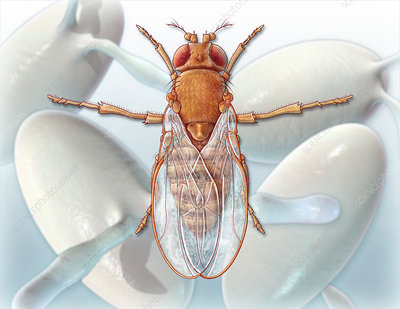 Fruit Fly and Eggs, illustration