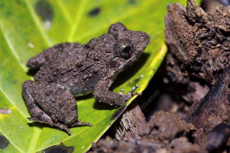 Celebes toad