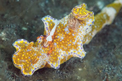 Nudibranch and shrimp
