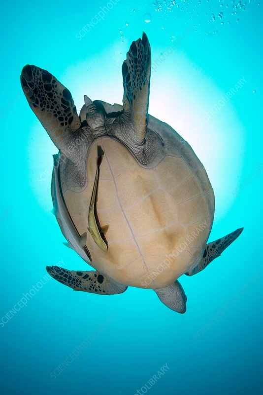 Female green turtle
