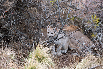 Puma cub with its mother