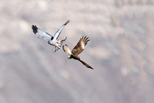 Cinereous harrier attacking southern crested caracara