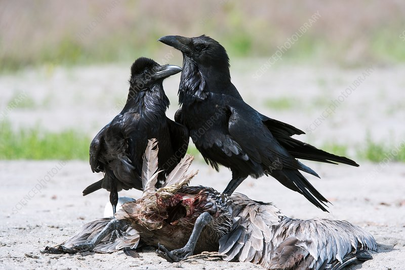 Common ravens feeding on a dead pelican