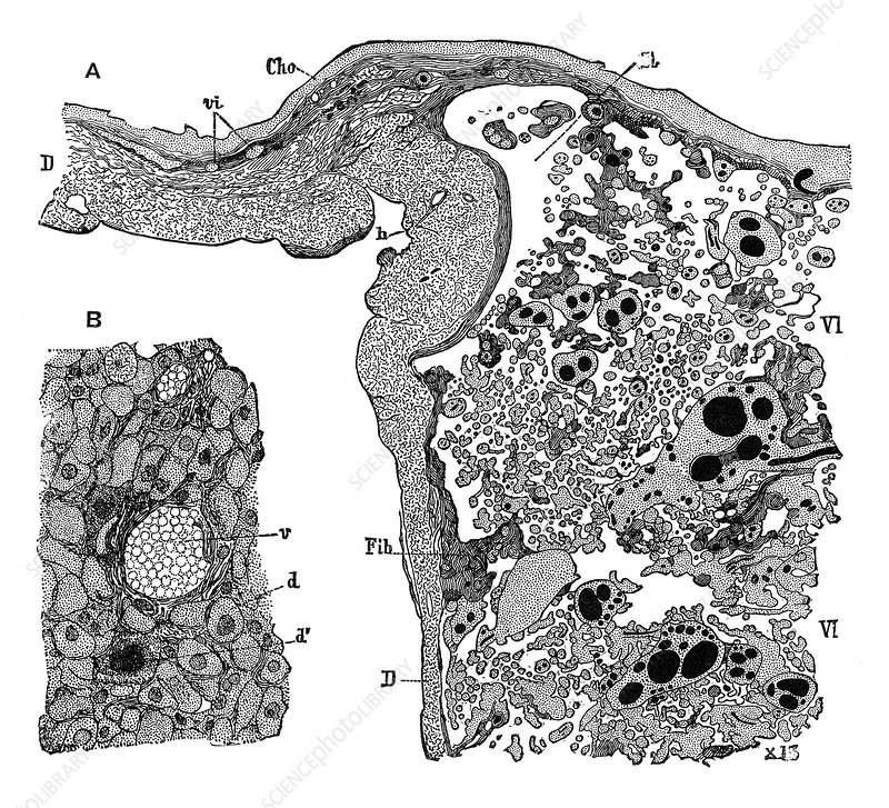 Structure of Placenta