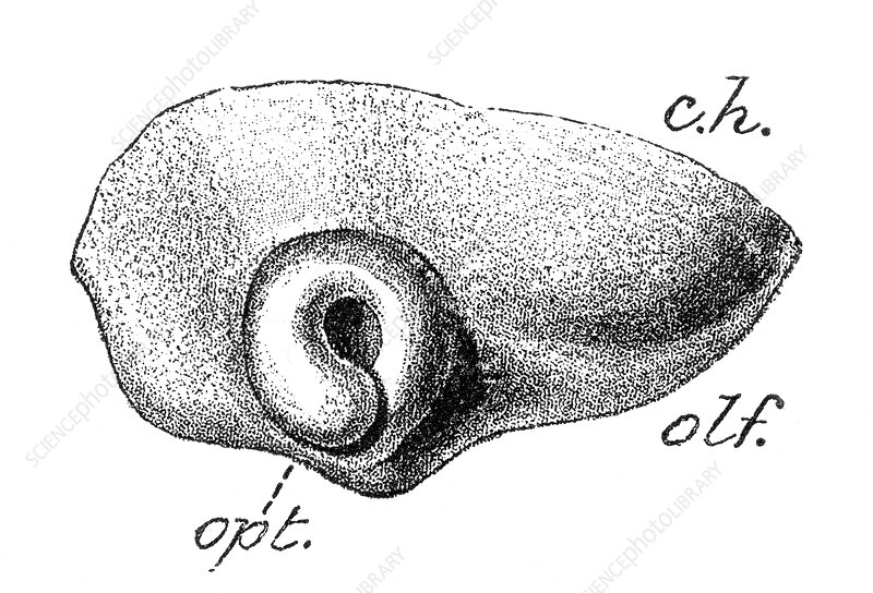 Human Embryo, Optic Vesicle Folded and Cupped