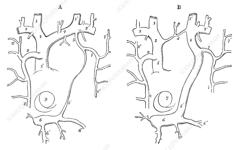 Human Development of Veins