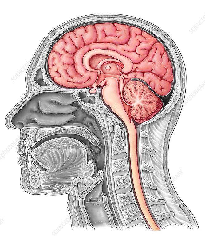 Midsagittal Brain Illustration Stock Image C0365337 Science