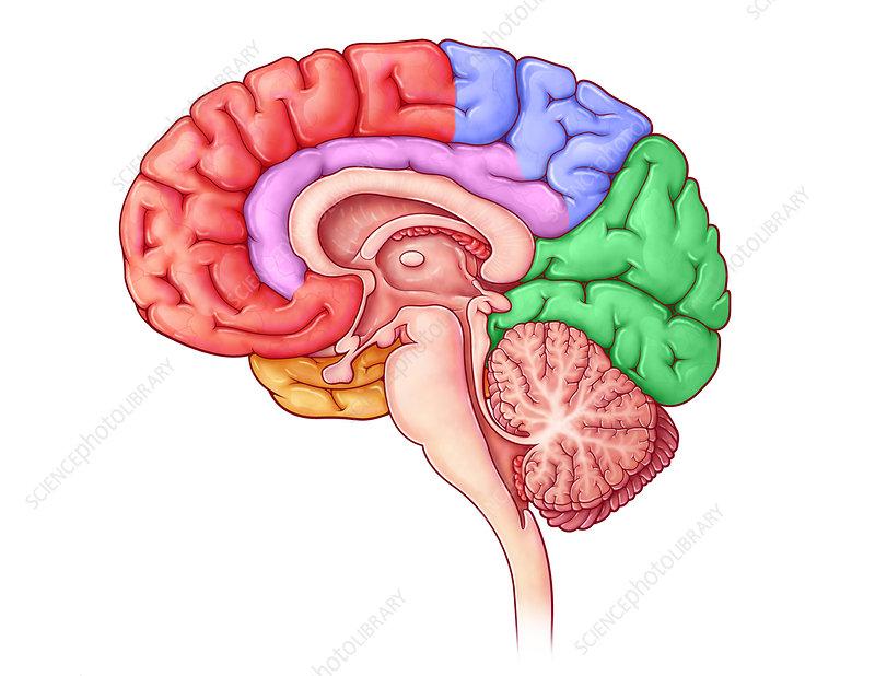 Lobes of the Brain, Sagittal View