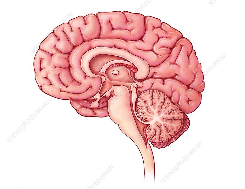 Brain Sagittal Section, Illustration