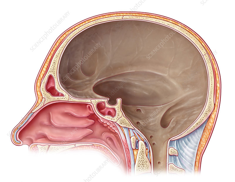 Cranial Cavity, Illustration