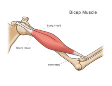 Bicep Muscle, Illustration