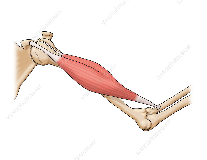 Bicep Muscle Illustration Stock Image C0365409 Science Photo