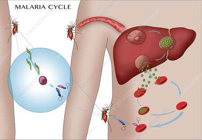 Malaria Cycle, Illustration