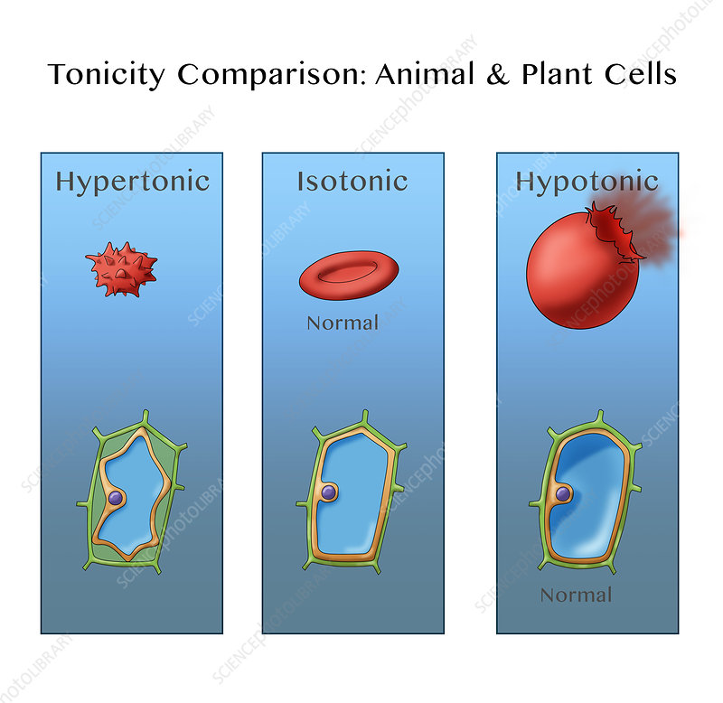 Osmosis In Plant And Animal Cells  Illustration