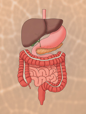 Normal Digestive System