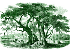 Sacred fig (Ficus religiosa), 19th C illustration