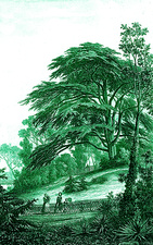 Cedar (Cedrus sp.) tree, 19th Century illustration