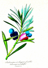 Buddhist pine fruit, 19th C illustration