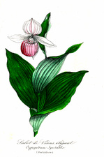Lady's-slipper orchid, illustration