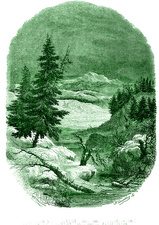 Silver fir trees, 19th C illustration