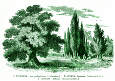 Sycamore, cypress and tamarisk, 19th C illustration