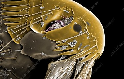 Dog flea head, SEM