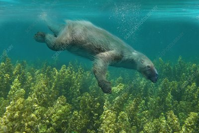Thalassocnus marine sloth, illustration