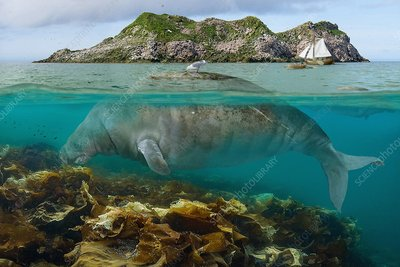 Steller's sea cow, illustration