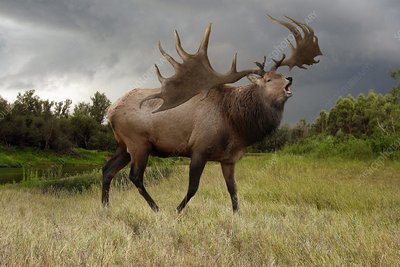 Irish elk, illustration