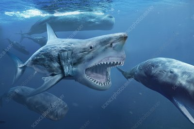 Megalodon prehistoric shark, illustration