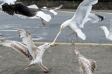 Seagulls fighting over seafood scraps