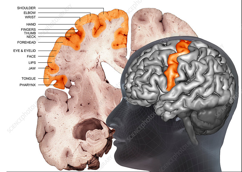 Human brain, primary motor cortex, 3D MRI composite image - Stock ...