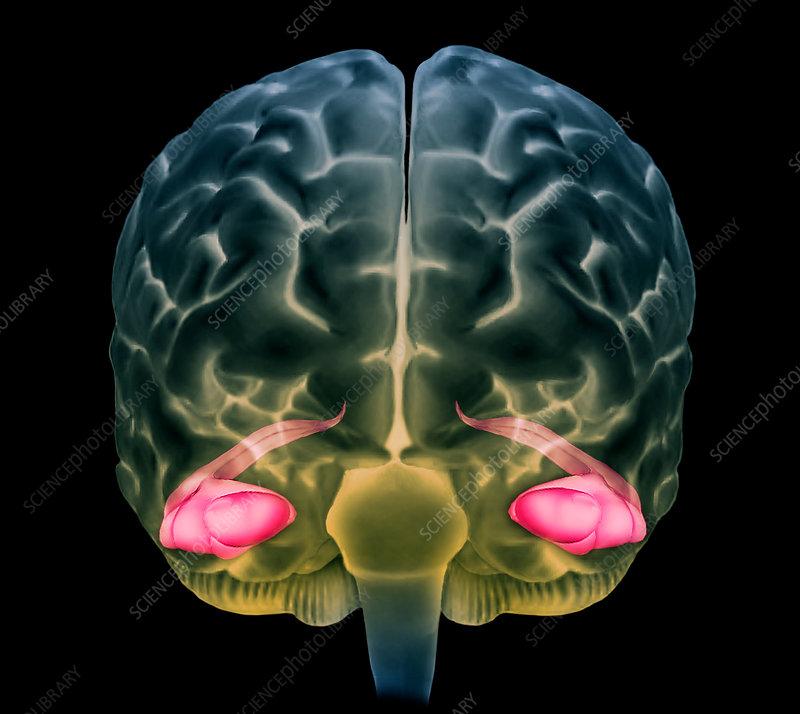 Human brain hippocampus 3d mri scan stock image c0367002 human brain hippocampus 3d mri scan ccuart Choice Image