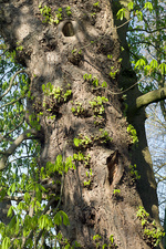 Epicormic growth on a horse chestnut tree