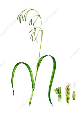 Hairy wood brome (Bromopsis ramosa) in flower, illustration