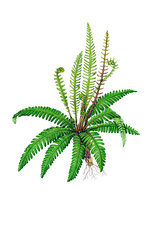 Hard-fern (Blechnum spicant), illustration