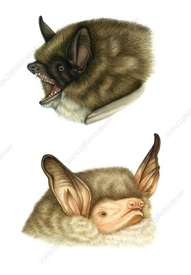 Whiskered and natterer's bats, illustration