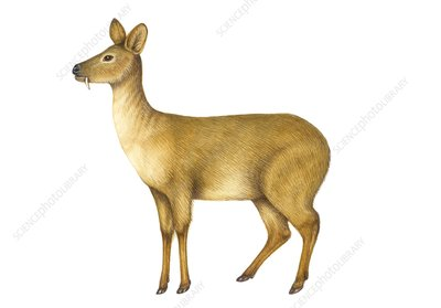 Chinese water deer, illustration