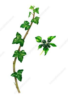 Common ivy (Hedera helix), illustration