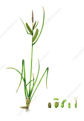 Common sedge (Carex nigra), illustration