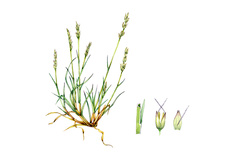Early hair-grass (Aira praecox), illustration