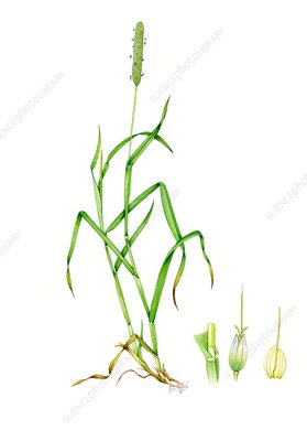 Meadow foxtail (Alopecurus pratensis), illustration