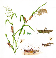 Migratory locust life-cycle, illustration