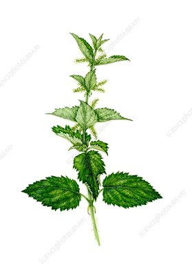Stinging nettle (Urtica dioica) in flower, illustration