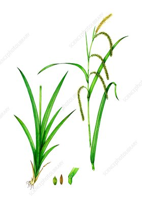 Pendulous sedge (Carex pendula), illustration