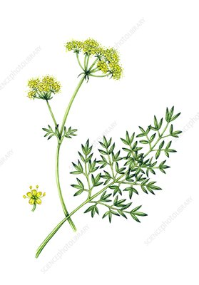 Pepper-saxifrage (Silaum silaus) in flower, illustration