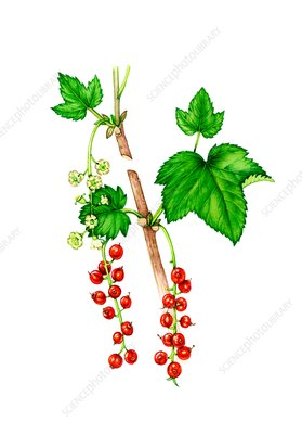 Redcurrant (Ribes rubrum) flowers and fruit, illustration