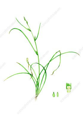 Remote sedge (Carex remota), illustration
