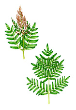 Royal fern (Osmunda regalis), illustration