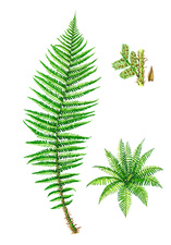 Scaly male fern (Dryopteris affinis), illustration